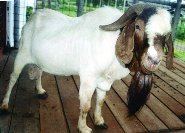 jenis kambing potong boer