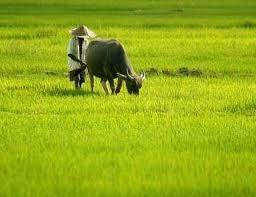 kehidupan ternak desa