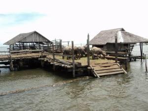 kalang_kerbau_Amuntai_Kalimantan Selatan_rawa