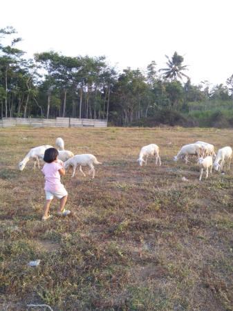 domba