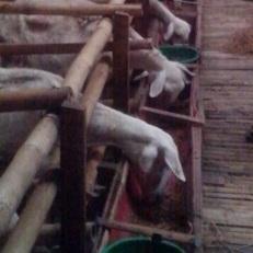 domba makan hay