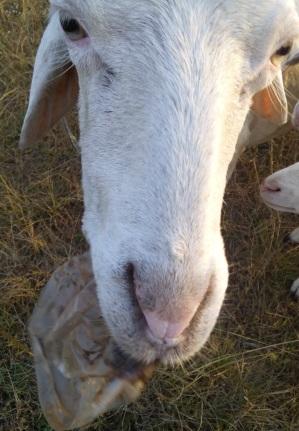 domba makan plastik2