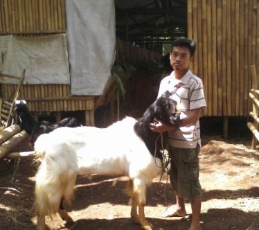 ternak kambing