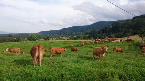 padang penggembalaan sapi soegeng entelemi 2
