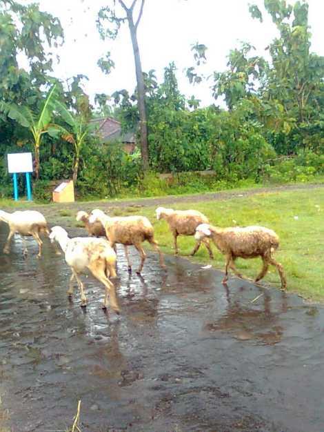 Solusi ternak saat hujan