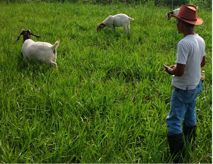 Penggembalaan Ternak Dipadang Gembala