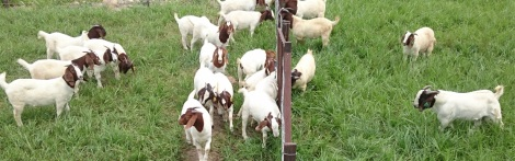 gembala kambing