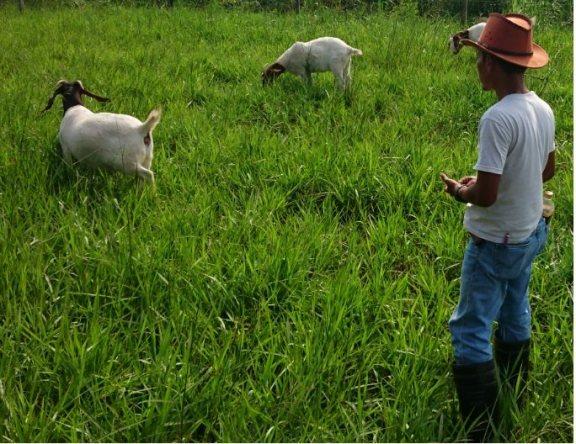 Padang Gembala Kambing
